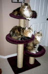 CT320PurpleWithMaineCoons-large
